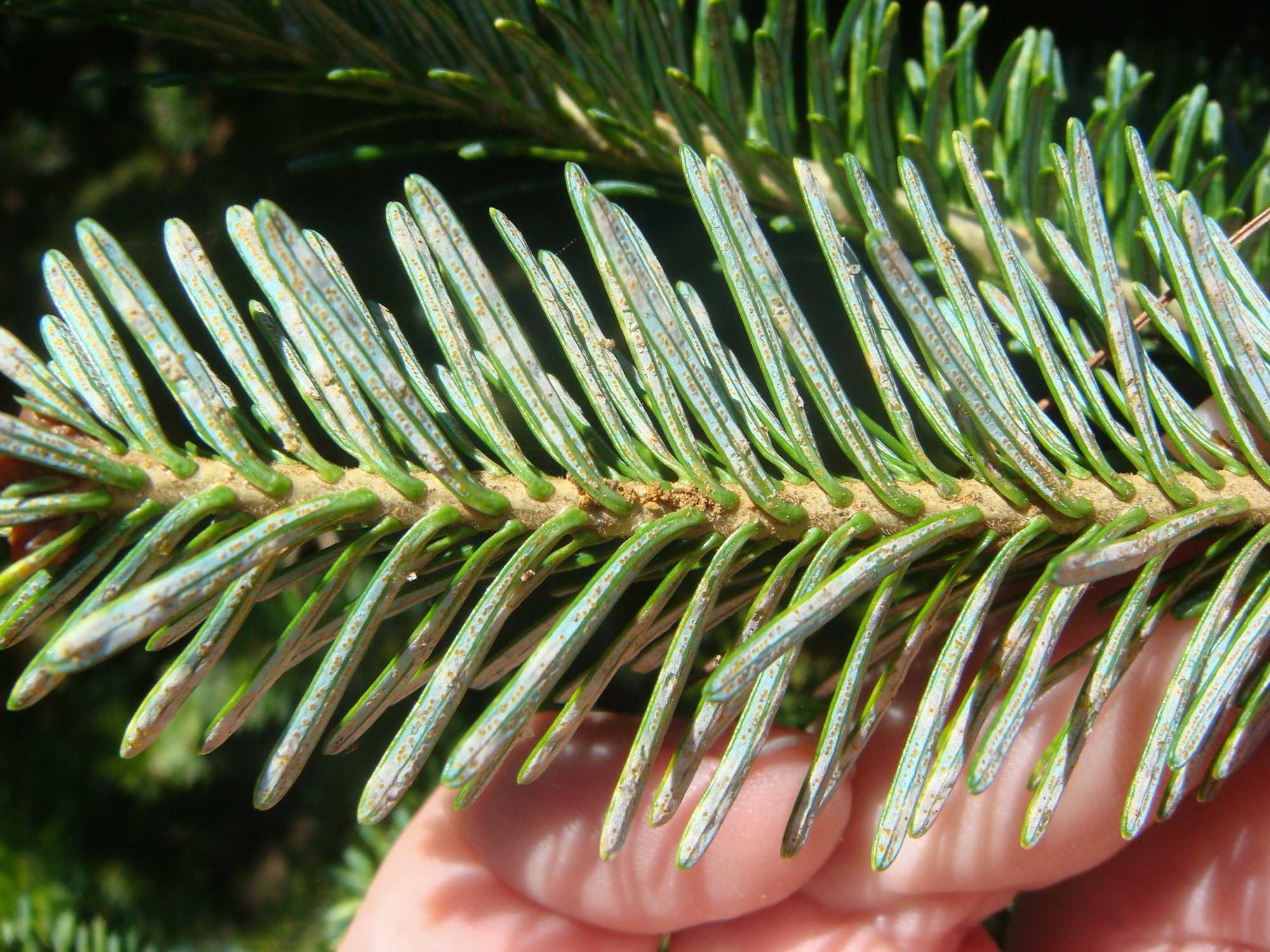 A+pine+tree+infected+with+cryptomeria.+Photo+courtesy+of+Jill+Sidebottom.