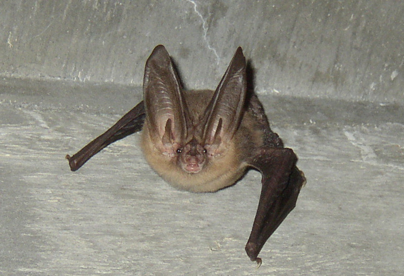 A+Virginia+big-eared+bat%2C+one+of+12+confirmed+species+of+bats+found+in+the+Blue+Ridge+Parkway.+The+National+Park+Service+granted+%248%2C000+to+App+State+Professor+Mark+Spond+to+research+the+varieties+of+bats+on+the+parkway+and+which+are+at+risk+for+lethal+White+Nose+Syndrome.