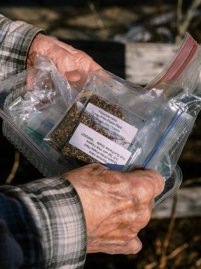 A volunteer handles Queen-of-the-Prairie seeds that will be placed in the seed library in preparation for National Seed Swap Day.