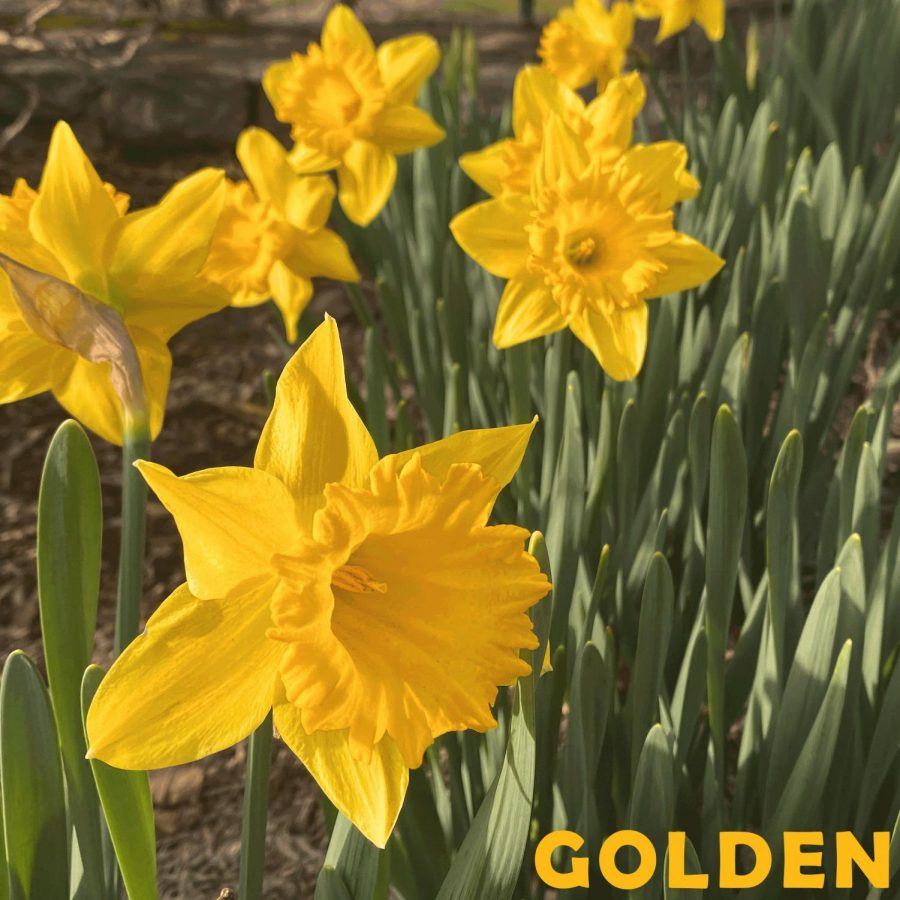 Freshly+planted+daffodils+planted+on+Rivers+St.+by+Durham+Park.+This+specific+type+of+daffodil+is+called+February+Gold+for+its+bright%2C+vibrant+yellows%2C+which+give+a+nod+to+App+States+official+colors.+
